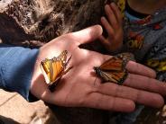 Así es la mariposa monarca