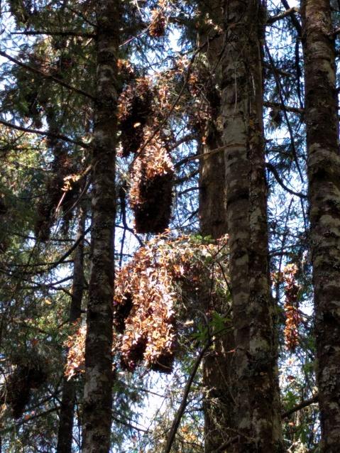 Millones de Mariposas Monarca